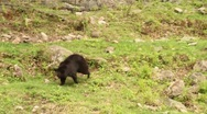 Stock Video Footage of Baby Bears running around outside of Farm.