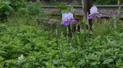 Bearded Iris 05 Stock Footage