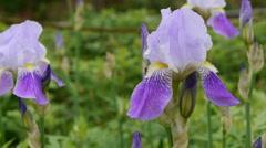 Bearded Iris 03 Stock Footage