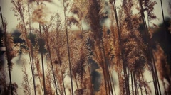 Reeds on the lake - stock footage