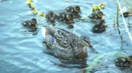 Stock Video Footage of Duck And Ducklings