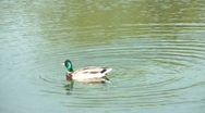 Stock Video Footage of The Duck Swims