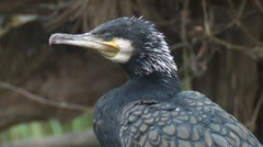 Cormorant Stock Footage