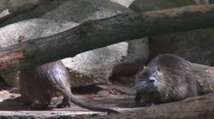 Nutria Stock Footage