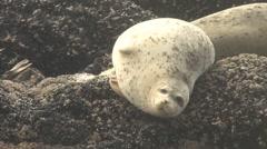Sea Lions On Rocks 3 - stock footage
