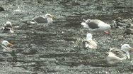 Seagulls Swimming Stock Footage