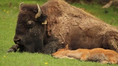 Adult and Baby Bison Lying in the Sun Stock Footage