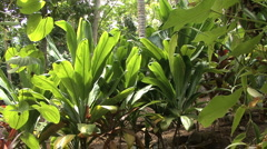 Huahine tropical plants in row Stock Footage