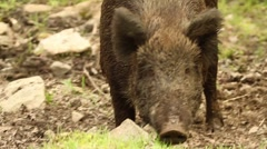 Wild Boar Walking Through Mud - stock footage