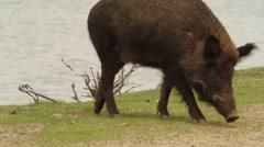 Wild Boar Walking on Beach - stock footage