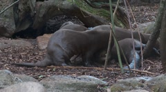 Giant otter Stock Footage