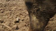Stock Video Footage of Adorable Wild Boar Close Up