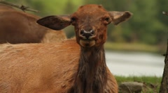 Deer Wiggling Ears to get rid of Flies Stock Footage