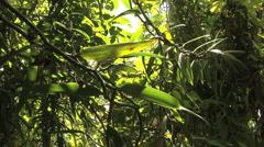 Huahine black pepper vines Stock Footage