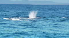 Pod of Humpback Whales Playful on Ocean Surface, Blow Hole Slow Motion Stock Footage
