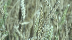 Wheat - stock footage