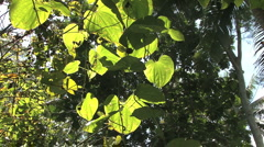 Huahine jungle vines in sun Stock Footage