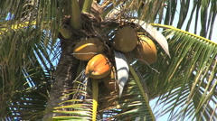 Huahine coconuts on tree Stock Footage