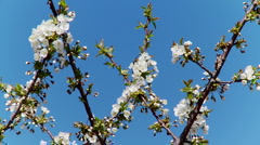 Cherry Blossoms and Sky 2 - stock footage