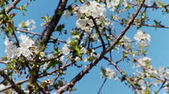 Cherry Blossoms and Sky 1 - stock footage