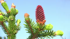 Red pinecone Stock Footage