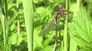 Stock Video Footage of Dragonfly metamorphosis