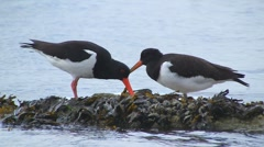 Oystercatchers, North Sea, Germany Stock Footage