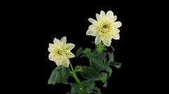 Stereoscopic 3D time-lapse of opening white dahlia 1c (left-eye, DCI-2K) - stock footage