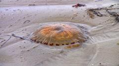 Stranded jellyfish on beach Stock Footage