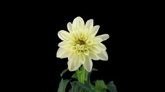 Stereoscopic 3D time-lapse of opening white dahlia 1d (left-eye) - stock footage