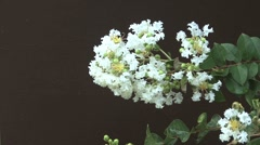White crape myrtle Stock Footage