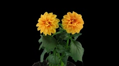 Stock Video Footage of Stereoscopic 3D time-lapse of opening orange dahlia 1c (left-eye)