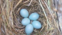 Eastern Bluebird Eggs Stock Footage