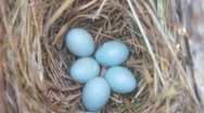 Stock Video Footage of Eastern Bluebird Eggs