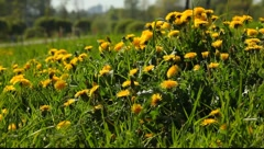 A lot of dandelion flowers shaking on the wind Stock Footage