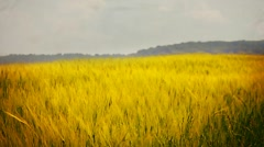 Landscape with blooming rape Stock Footage