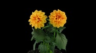 Stereoscopic 3D time-lapse of opening orange dahlia 1d (right-eye, DCI-2K) Stock Footage