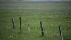 Marsh Songbird Meadow 3458 Stock Footage