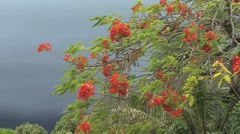 Poinciana flowers and a dark cloud Stock Footage