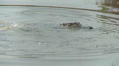 Alligator 01 HD Stock Footage