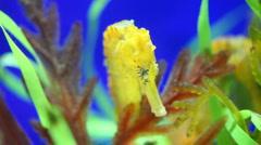 Closeup of a seahorse - stock footage