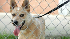 Pan of dog behind fence Stock Footage