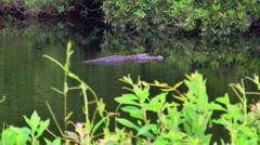 Wild alligator Stock Footage