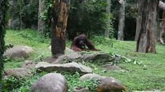 Orangutan feeding, HD Stock Footage