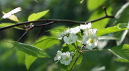 Hawthorn bushes in bloom, closeup and wide shots. Stock Footage