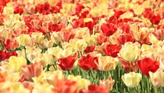 Tulip - 1 - stock footage
