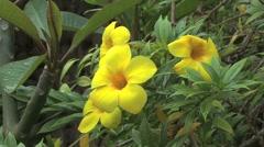 Moorea allamanda flower Stock Footage