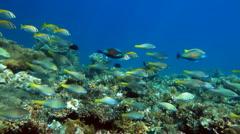 School of fish Parrotfish Stock Footage