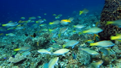 School of fish Parrotfish - stock footage