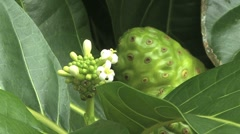 Moorea detail noni plant Stock Footage